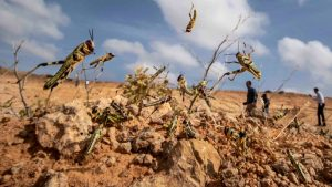 Read more about the article Apocalyptic News: Locust Plague ruining Crops and Lives.